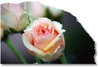 ubx-rose