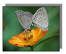 schmetterlinge butterfly papillon mariposa farfallone. Black Bedroom Furniture Sets. Home Design Ideas